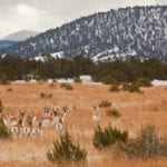 Antelope in the White Mountains (image)