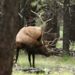 Elk in the White Mountains 1 (image)